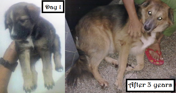 An adopted Indian pup that grew up to be as loving as any foreign breed