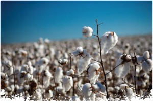 Organic cotton is grown in separate fields without the use of any synthetic or chemical fertilizers, pesticides, etc