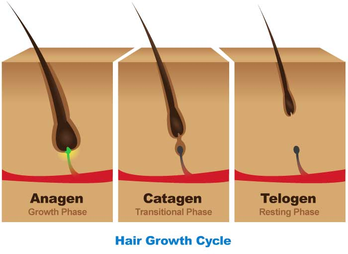 The hair growth cycle has three major phases - Anagen, Catagen and Telogen