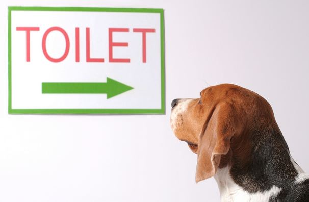 You can easily potty train your dog if you reward him on doing his job at the right place